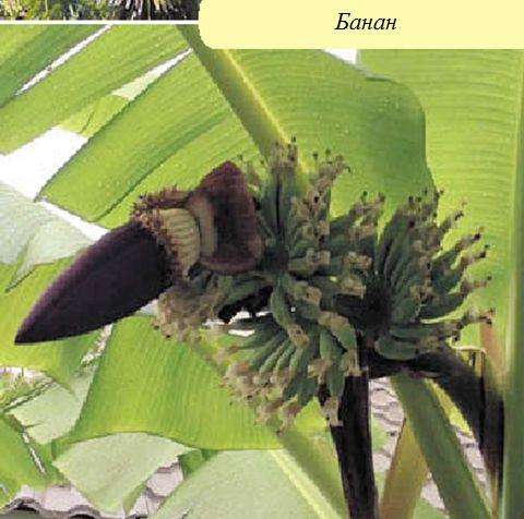 Банан Басе
