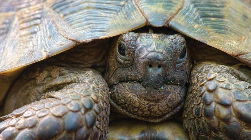 Средиземноморская черепаха (Testudo graeca pallasi)