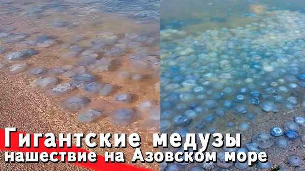 Гигантские медузы в Голубицкой